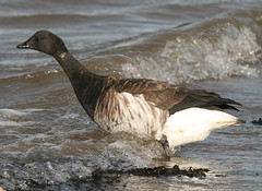 Brent Goose (Jacqui Herrington:) Tags: nature birds fife wildlife standrews westsands brentgoose brantabernicla outhead