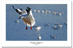 Elegance (Imapix) Tags: autumn white canada bird art fall nature animal automne canon photography flying geese photo foto photographie image quebec fallcolors flock flight goose landing foliage qubec migratory migration graceful elegance victoriaville snowgeese oie imapix oies snowgoose gracefullness migrateurs gaetanbourque oiesblanches aplusphoto vosplusbellesphotos imapixphotography gatanbourquephotography