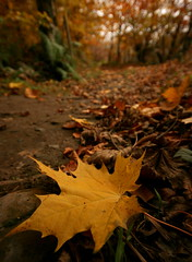 Leafy stroll (The Merry Monk) Tags: trees ireland brown leaves forest gold golden leaf berries decay mayo riverwalk autunm woodlandwalk findingireland flickrchallengegroup flickrchallengewinner irishlight