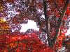 Riegelsville, Bucks County, PA (Peachhead (4,000,000 views!)) Tags: autumn red fall leaves pennsylvania foliage pa japanesemaple buckscounty pa611 riegelsvillepa