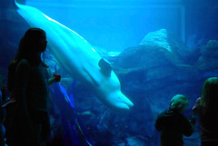 Nico says: Why are YOU upside down? (StGrundy) Tags: ocean blue atlanta sea people usa nature colors monochrome silhouette georgia children aquarium lowlight nikon marine underwater upsidedown watching noflash arctic explore handheld whale georgiaaquarium curious aquatic beluga inverted mammals viewing closeencounters onblue underthesea delphinapterusleucas coldwaterquest interestingness212 explored d80 colorphotoaward nikonflickraward nikkor1855mmf3556gvr oceanstnc08 explore21nov2008