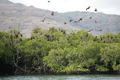 IMG_2070.JPG (bobzzz) Tags: indonesia flyingfox mangroveisland