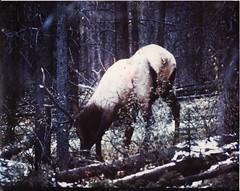 FOUND: Ass Elk (~filth~filler~) Tags: ass nature 8x10 elk amateur foundphotographs