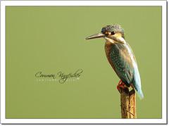 Common Kingfisher (Alcedo atthis) (Z.Faisal) Tags: bird water pond nikon beak feathers aves kingfisher dhaka nikkor bangladesh avian bipedal bangla faisal desh d300 zamir savar commonkingfisher alcedoatthis alcedo atthis pakhi endothermic specanimal nikkor300mmf4 jahangirnagar jahangirnagaruniversity riverkingfisher machranga zamiruddin zamiruddinfaisal eurasiankingfisher patimachranga zfaisal bdlens bdlenscom