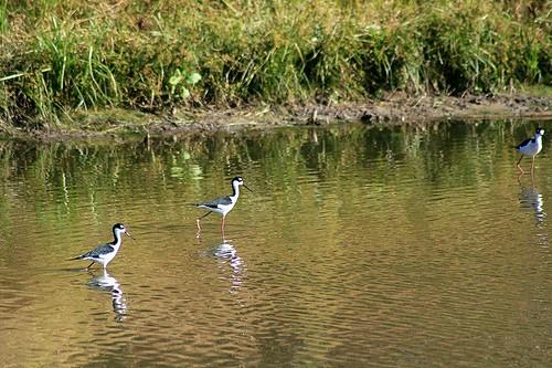 wading_birds_2