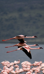 flamingo squadron (Mikee Showbiz) Tags: africa pink bird water wings kenya flamingo flight depthoffield formation safari sodalake squadron riftvalley canon70300 lakenakuru lakenakurunationalpark alkalinelake canoneos400d naturewatcher canonet65b