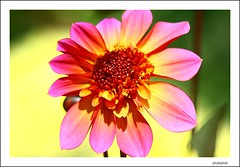 pink dahlia (PHOTOPHOB) Tags: pink sex dof estate bokeh rosa zomer verano otoo vero dalie t outono dalia jesie lato lto sonbahar efterr photophob