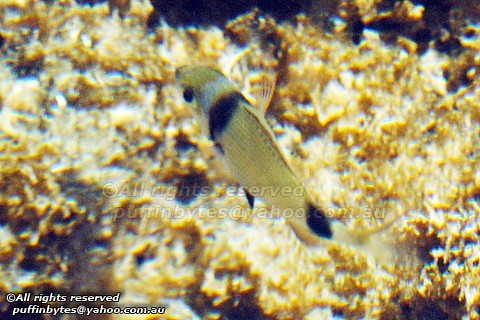 Two-banded Seabream - Diplodus vulgaris