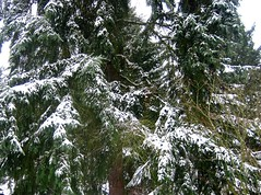 Evergreen with snow (hopeisalot) Tags: winter snow december evergreen wintersolstice wa bothell frontyardtree winterinwashington snowinbothell winterinthepacificnorthwest snowinthepacificnorthwest snowinwashinton