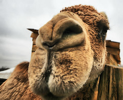Camel Kiss (` Toshio ') Tags: christmas winter usa house water animal closeup america mouth river mammal nose virginia washington eyes kiss estate farm president camel va potomac historical georgewashington upclose smack mountvernon mtvernon firstpresident wideanglelens toshio aplusphoto