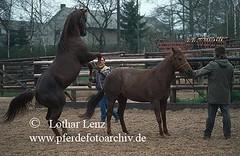 lzpre12286 (Lothar Lenz) Tags: horse caballo cheval deutschland cavalo pferd hest equus paard hst decken hengst hestur andalusier kopulation konj hobu zirgs zucht schulmeister 56812dohr trchtig deckakt decksprung kopulieren fotolotharlenz decksaison trchtigkeit