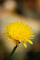 Faiallo 2 - Yellow sun (max - iogenovese) Tags: flowers summer macro verde green yellow closeup nice nikon shot giallo genoa genova fiori floe faiallo d80 davicino maxlapiccolacasa iogenovese