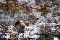 Sheepies in the frozen swamp