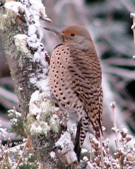 Northern Flicker - 2 (diffuse) Tags: december2008 2008 backyard flicker northernflicker bird birds aves cherry tree snow cold winter lichen princegeorge britishcolumbia diffuse2008 2008yip