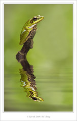 2000.2 Frog ... reflection .... (liewwk - www.liewwkphoto.com) Tags: park wild brown black macro green eye nature animal closeup fauna canon bug garden insect nose flora natural outdoor wildlife leg amphibian frog vein wilderness frim mpe65 50d bej canon50d 100commentgroup mpe65macro top20worldwide