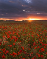 Wiltshire Poppies Sunset (peterspencer49) Tags: sunset poppies wiltshire poppyfields eos1dsmarklll peterspencer