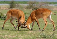 Kob Bucks Sparring, Murchison Falls NP, Uganda