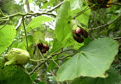 Abutilon sandwicense.  Hawai`i, O`ahu, Wai`anae Mountains, Wai`anae Kai.  Plant 1. (jqcl) Tags: plants plant hawaii oahu endangered abutilon malvaceae waianaemountains kooloa nativehawaiianplant nativehawaiianplants abutilonsandwicense