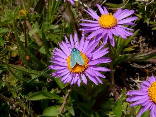 Aster des Alpes et la Turquoise au Quermoz 042