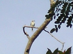 yellow-vented bulbul (cropped)