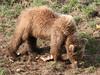 Brown Bear - IMG_1055a