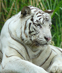 thoughtful, sad, tired (tropicaLiving - Jessy Eykendorp) Tags: park bali india white nature animal fauna indonesia geotagged photography asia stripes wildlife tiger fingerprints spot wildanimal endangered bengal bigcats
