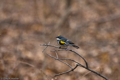 Yellow-rumped Warbler (1 of 2)