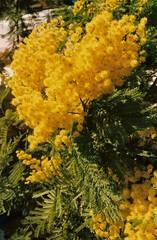 Fiori della mia mimosa.