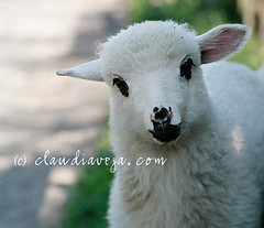 innocent and alive (claudiaveja) Tags: white green animal easter happy photography little paste stock innocent images silence license lamb getty concept transylvania nautre gettyimages cluj invited royaltyfree rightsmanaged claudiaveja rightmanaged