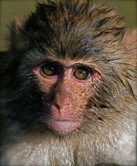 Rhesus Monkey (Chi Liu) Tags: nature animal canon monkey wildlife rhesusmonkey naturesfinest supershot chiliu specanimal impressedbeauty megashot