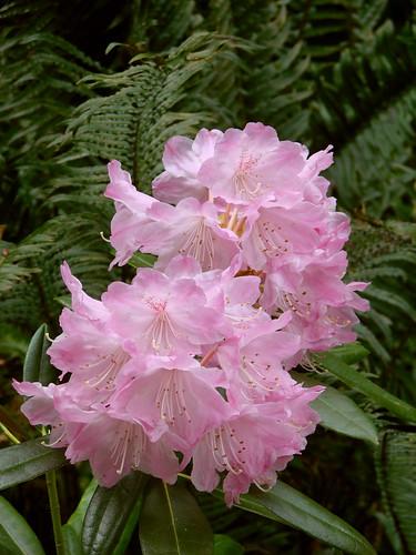 Rhododendron Species Botanical Garden: 5/10/08 · Unknown Rhodie