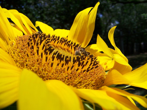 Sunflower & bee facing up