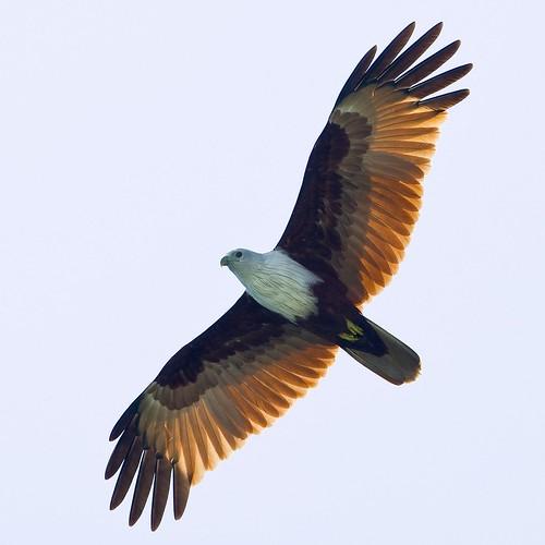 Brahminy Kite - Haliastur indus