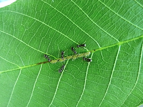 An ant farm on the leaf of a walnut tree