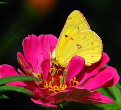 yellow butterfly on pink zinnia