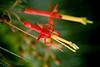Herradura_quintal (sergio.agustin) Tags: cactus coquimbo quintral tristerixaphyllus