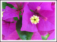 Macro photo of Bougainvillea 'Royal Purple' with deep purple bracts, in our neighbourhood