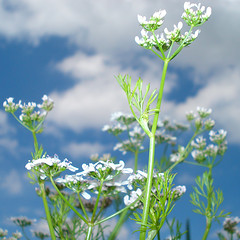 coriander sky (Urbanimp) Tags: flowers summer sky clouds herbs bluesky coriander allotment
