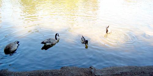 Bend_Ducks