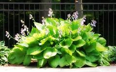 Hosta - flowers (blmiers2) Tags: flowers newyork geotagged faves hosta ttcu blm18 blmiers2