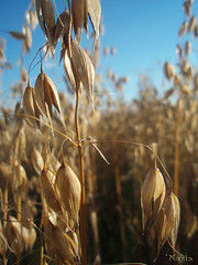 kos ('KatyD) Tags: blue summer sky nature golden corn grain cereal poland polska oat zboe owies
