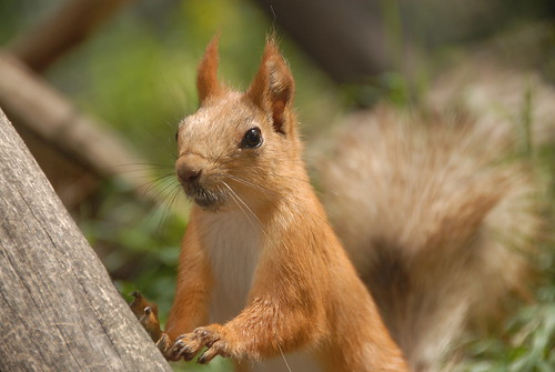 Russian Red Tree Squirrel (Sciurus vulgaris exalbidus)