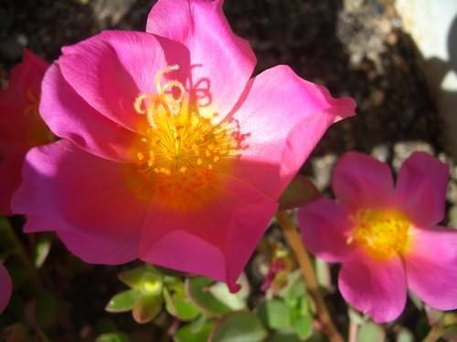 Flor rosa de la terrassa dels meus pares