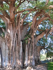 rbol del Tule (Tule Tree) () Tags: santa plant tree church nature del giant mexico big amazing ancient aztec arbor freak rbol oaxaca huge trunk montezuma cypress neat sequoia mara grounds stout enormous tule zapotec nahuatl rafa2008oax