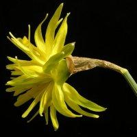 Daffodil Rip van Winkle