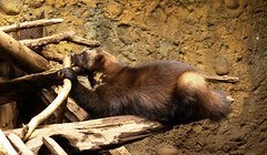 2008-08-21 Northwest Trek Wolverine