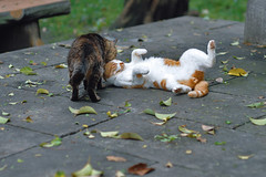 cat_0034 (You're such a baby.) (PyunpyunMaru) Tags: cat  straycats streetcats  kissablekat catmoments