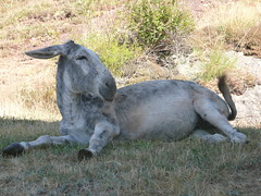 P1070290 (canduela) Tags: españa burro asno palencia galope montañapalentina villanuevadelatorre