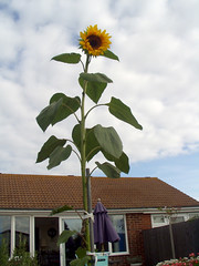 Survivor - sunflower (mo_delmar) Tags: flora sunflower