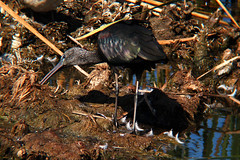 �bis-preta . Plegadis falcinellus . Glossy Ibis